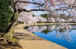 Pathway around the tidal basin during Cherry Blossom Festival stock photo