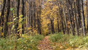 Pathway in the autumn forest stock video footage