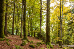 Pathway through the beautiful autumn forest near Brienz, Bernese Highlands, Switzerland Royalty Free Stock Image