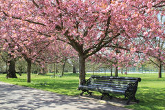 Pathway with benche under pink blossoms in Greenwich Park. Trees with pink blossoming flowers over benches on pathway in Greenwich Park, London royalty free stock photo
