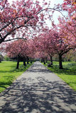 Pathway with benches under pink blossoms in Greenwich Park. Trees with pink blossoming flowers over benches on pathway in Greenwich Park, London stock photos
