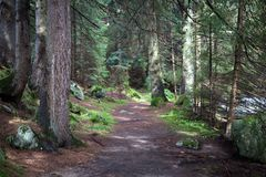 Pathway among big trees. In pine forest stock photo