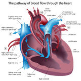 Pathway of blood flow through the heart Stock Image