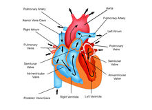Pathway of Blood flow through the heart Royalty Free Stock Photography