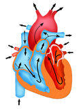 Pathway of Blood flow through the heart Stock Photo