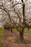 Pathway through blooming almond orchard. With pink and white blossoms and drip irrigation Royalty Free Stock Photos