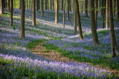 Pathway in the blue bells forest, Hallerbos, Belgium. Pathway in Hallerbos forest betwen blue bells stock photography