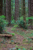 Pathway through an conifer forest. Trail through a sitka spruce forest Stock Images