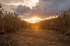 Corn field sunset. Pathway through a corn field as the sun is setting Stock Images
