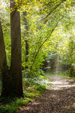 A pathway covered by leaves in a dense forest with filtered rays Royalty Free Stock Photo