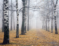 Pathway in deeply mist autumn birch park. In the rain morning Stock Photography