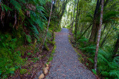 Pathway through dense temperate rainforest with fern trees in south island, in New Zealand.  Stock Image