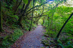 Pathway through dense temperate rainforest with fern trees in south island, in New Zealand.  stock images