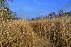 Pathway of dried grass. Situated in Nami Island, tiny half-moon shaped island located in Chuncheon, South Korea royalty free stock photo