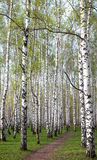 Pathway in the evening birch forest with first spring greens Stock Images