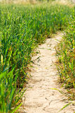 Pathway at the field of wheat royalty free stock photo