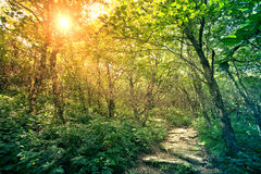 Pathway through forest Royalty Free Stock Photos