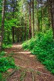Pathway in a forest go up Stock Photo