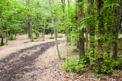 Pathway in the forest. A pathway through one of the woods in the natural reserve of Mount Etna Royalty Free Stock Photo