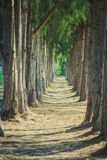 Pathway through forests of pine trees. Royalty Free Stock Image