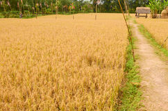 Pathway between golden rice field Stock Photo