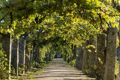 Pathway through grapevine Royalty Free Stock Photo