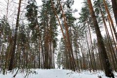 Pathway through green dark winter forest. Snowdrift and Tilted spruces. Pathway through green dark winter forest. Snowdrift Tilted brown spruces. Grey sky stock photo