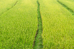 Pathway in green rice field Royalty Free Stock Images