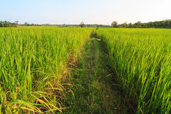 Pathway in green rice field Stock Image
