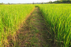 Pathway in green rice field Royalty Free Stock Photography