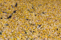 Pathway ground covered with yellow ginko leaves in autumn Stock Images