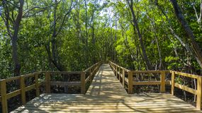 Pathway inside mangrove forest Stock Images