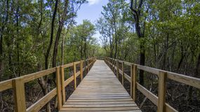 Pathway inside mangrove forest Stock Image