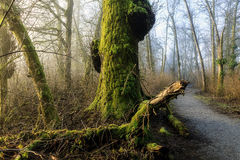A pathway leading past moss covered trees Stock Image