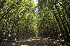 Pathway in the mangrove at Can Gio`s Monkey Island, south Vietnam.  Royalty Free Stock Images