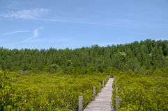 Pathway in mangrove forest Stock Photography