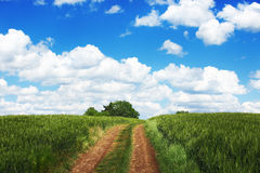 Pathway in the meadow. Wheat field against blue sky with white c Royalty Free Stock Photos