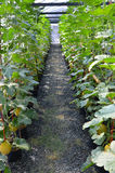 Pathway between melon trees Stock Photography