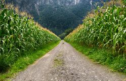 Pathway in Middle of Corn Field Stock Images