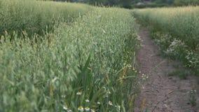 Pathway through oat field in farm land