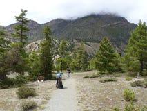 Pathway through pine forest. Annapurna Circuit trek in Nepal, near Bhraka village stock image