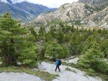 Pathway through pine forest. Annapurna Circuit trek in Nepal, near Bhraka village royalty free stock photography