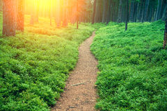 Pathway in the pine forest Stock Photos