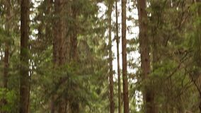Pathway in Pine Forest stock video