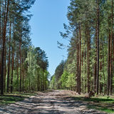 Pathway in pine forest under clear sky Stock Photo