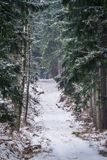 Path through the forest in Karkonosze National Park. Pathway through the pine forest in winter, Karkonosze National Park, Poland Royalty Free Stock Photos