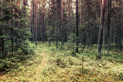 Pathway in pine tree forest, Karelia, Russia Royalty Free Stock Photo