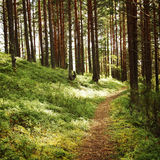 Pathway in the pine tree grove. Sunny summer day. Royalty Free Stock Photography