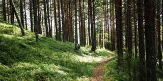 Pathway in the pine tree grove. Sunny summer day. Stock Photos