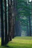Pathway pine tree pattern Royalty Free Stock Image